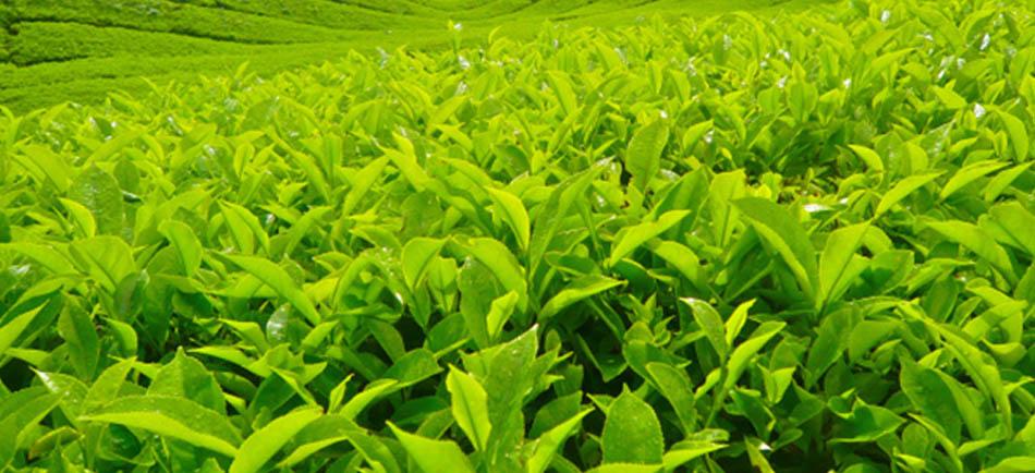 Çay Endüstrisinde İş Sağlığı Güvenliği - Erataş İş Güvenliği Ekipmanları